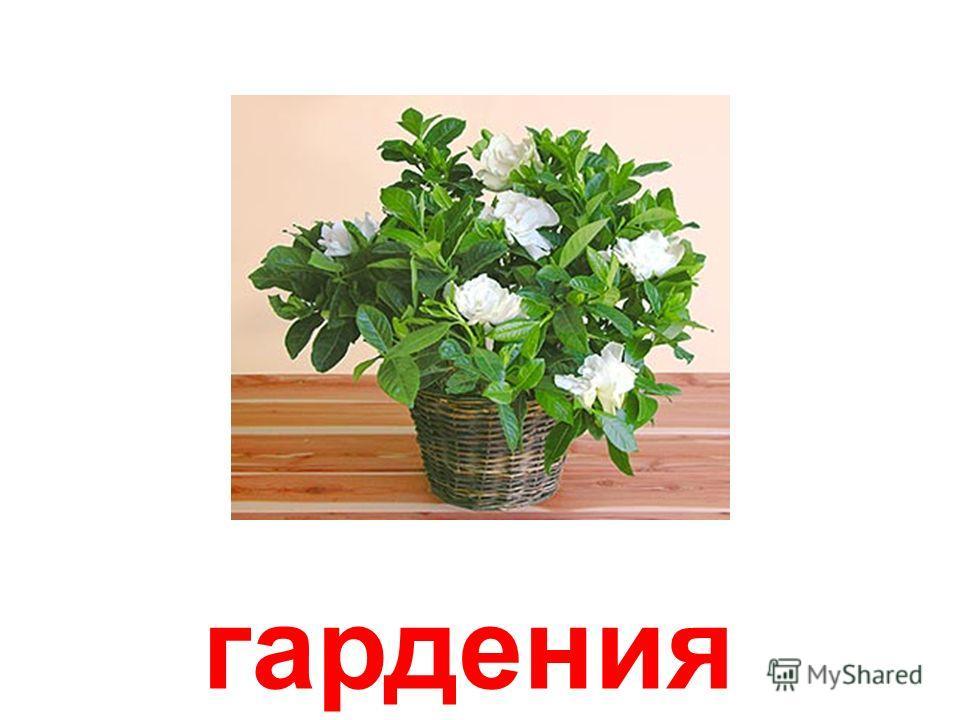 азалия (рододендрон)
