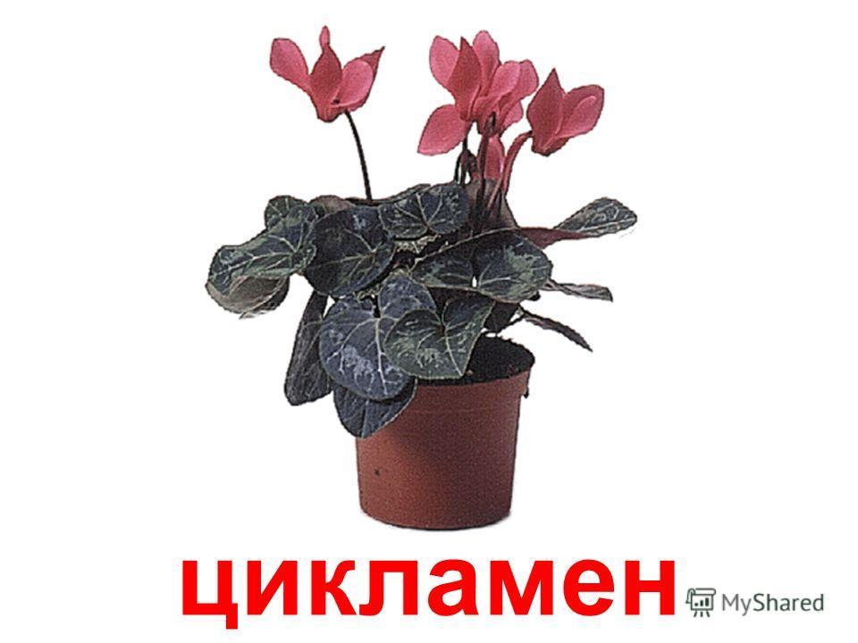 герань ( пеларгония )
