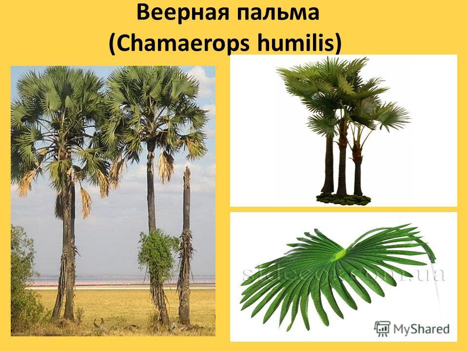 Веерная пальма (Chamaerops humilis) Низкорослая пальма со стволом 1 2 м высоты. Листья веерообразные, жесткие, сверху темно- зеленые, снизу сизоватые. Листовая пластинка полукруглая, расчленена на узкие, линейно- ланцетные, двунадрезные, заостренные