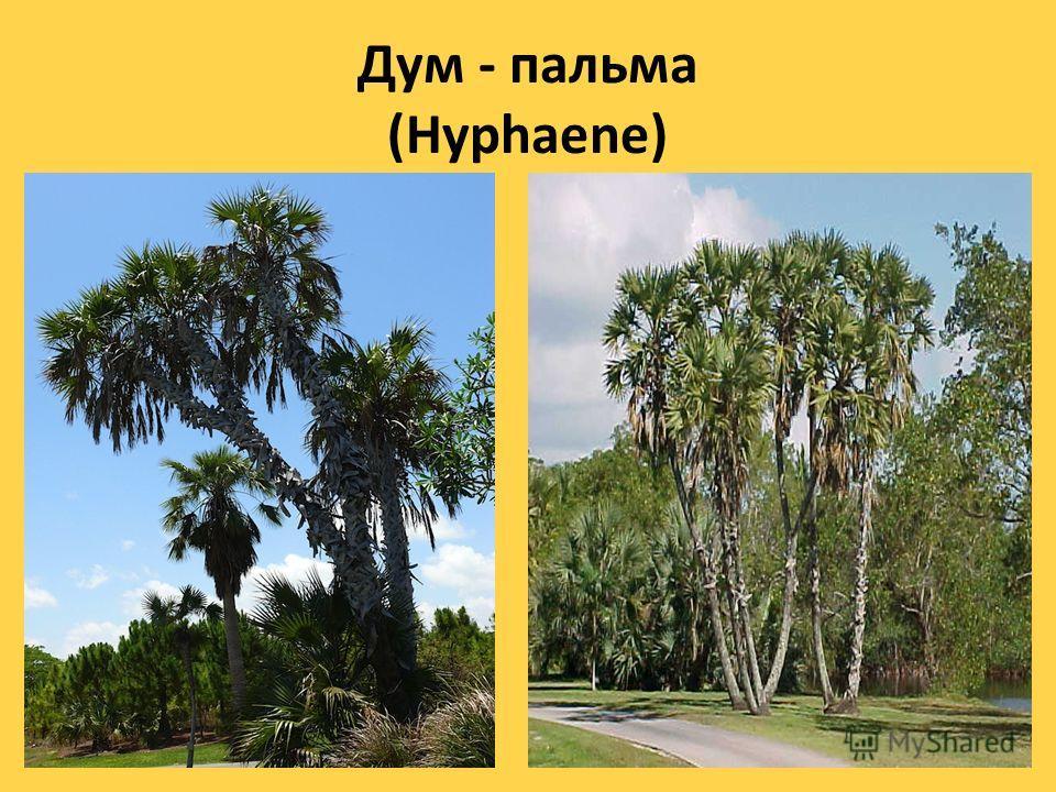 Веерная пальма (Chamaerops humilis)