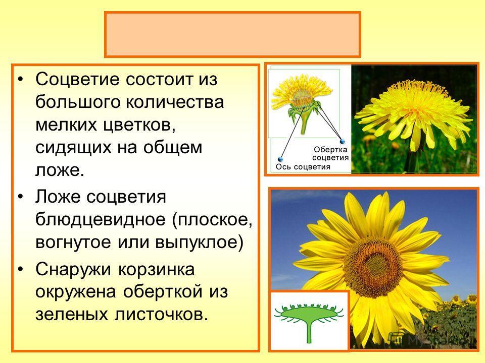 Соцветие корзинка Соцветие состоит из большого количества мелких цветков, сидящих на общем ложе. Ложе соцветия блюдцевидное (плоское, вогнутое или выпуклое) Снаружи корзинка окружена оберткой из зеленых листочков.