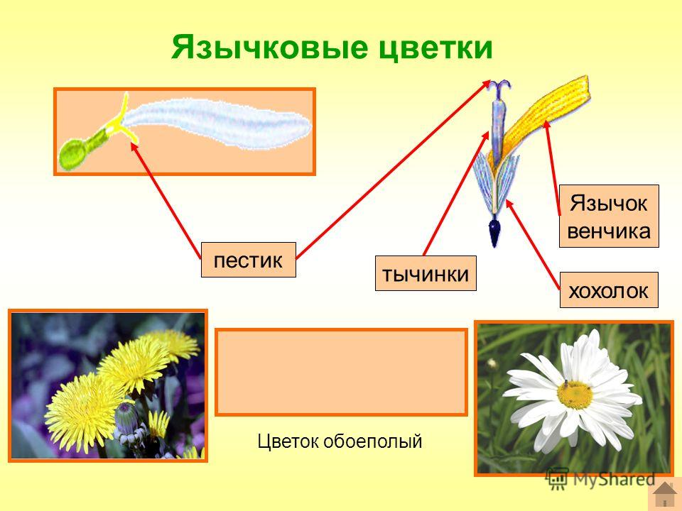 Язычковые цветки Формула цветка: ^Ч 0 Л (5) Т (5) П 1 пестик хохолок тычинки Язычок венчика Цветок обоеполый