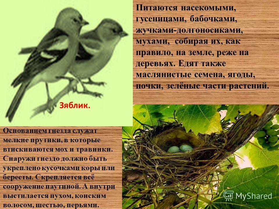 Зяблик. Питаются насекомыми, гусеницами, бабочками, жучками-долгоносиками, мухами, собирая их, как правило, на земле, реже на деревьях. Едят также маслянистые семена, ягоды, почки, зелёные части растений. Основанием гнезда служат мелкие прутики, в ко