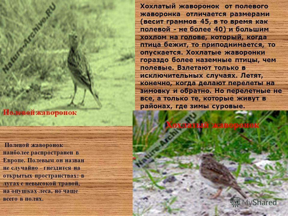 Полевой жаворонок Хохлатый жаворонок Полевой жаворонок наиболее распространен в Европе. Полевым он назван не случайно - гнездится на открытых пространствах: в лугах с невысокой травой, на опушках леса, но чаще всего в полях. Хохлатый жаворонок от пол