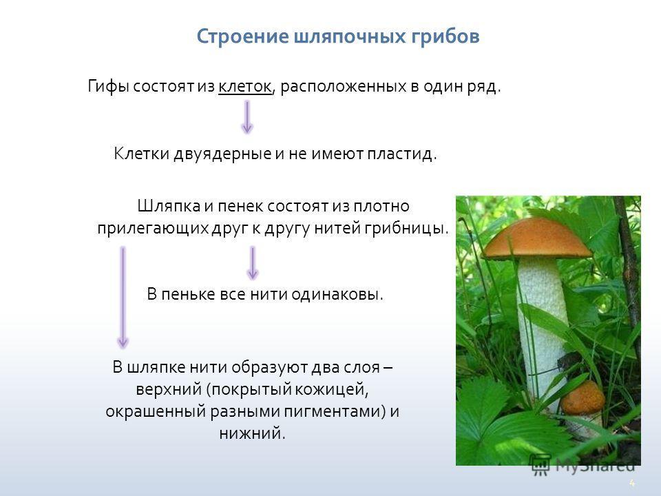 4 Строение шляпочных грибов Гифы состоят из клеток, расположенных в один ряд. Клетки двуядерные и не имеют пластид. Шляпка и пенек состоят из плотно прилегающих друг к другу нитей грибницы. В пеньке все нити одинаковы. В шляпке нити образуют два слоя