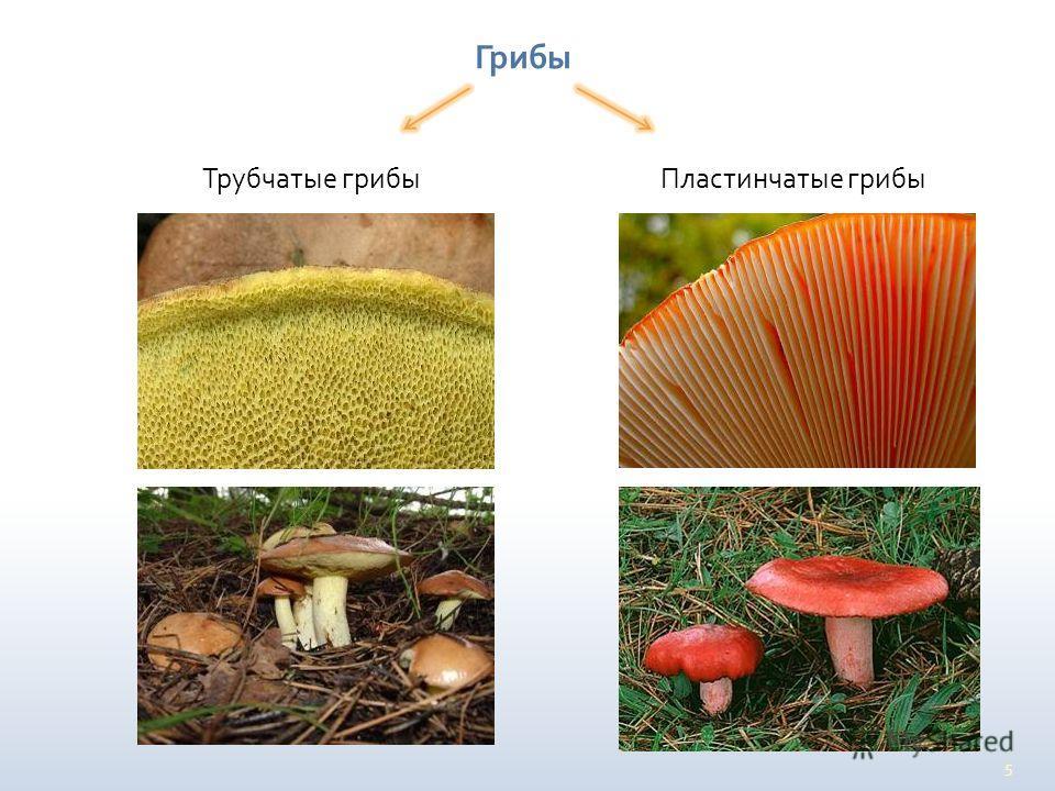 5 Грибы Трубчатые грибы Пластинчатые грибы