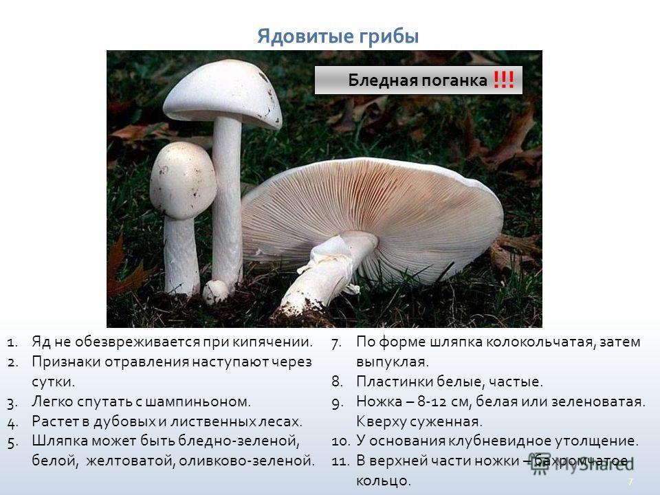 7 Ядовитые грибы Бледная поганка !!! 1. Яд не обезвреживается при кипячении. 2. Признаки отравления наступают через сутки. 3. Легко спутать с шампиньоном. 4. Растет в дубовых и лиственных лесах. 5. Шляпка может быть бледно-зеленой, белой, желтоватой,