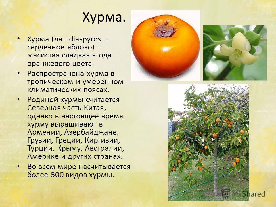 Хурма. Хурма (лат. diaspyros – сердечное яяблоко) – мясистая сладкая ягода оранжевого цвета. Распространена хурма в тропическом и умеренном климатических поясах. Родиной хурмы считается Северная часть Китая, однако в настоящее время хурму выращивают
