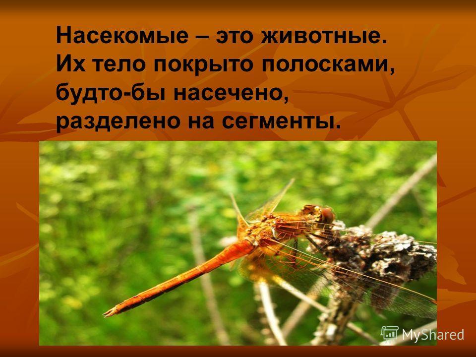 Насекомые – это животные. Их тело покрыто полосками, будто-бы насечено, разделено на сегменты.
