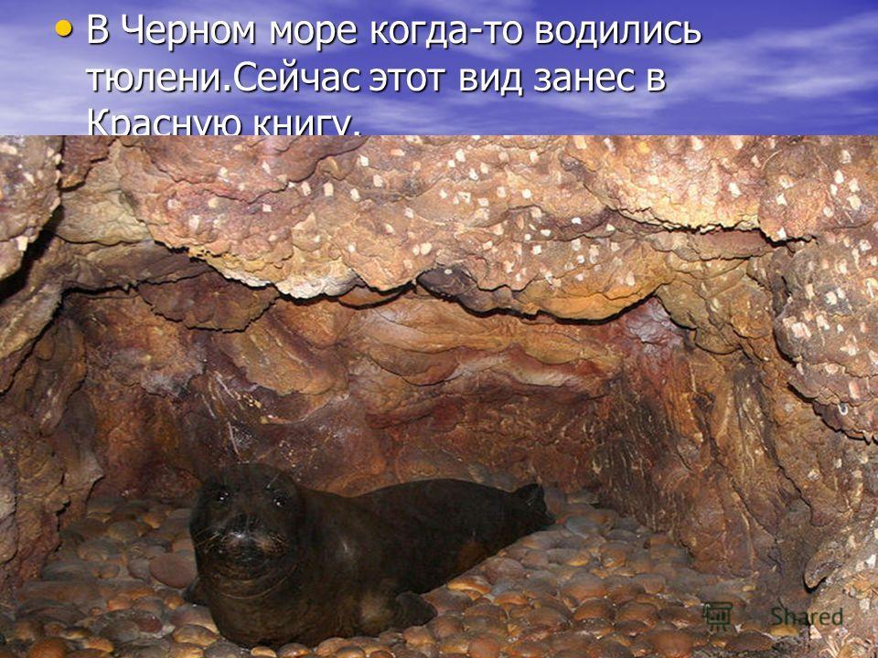 В Черном море когда-то водились тюлени.Сейчас этот вид занес в Красную книгу. В Черном море когда-то водились тюлени.Сейчас этот вид занес в Красную книгу.
