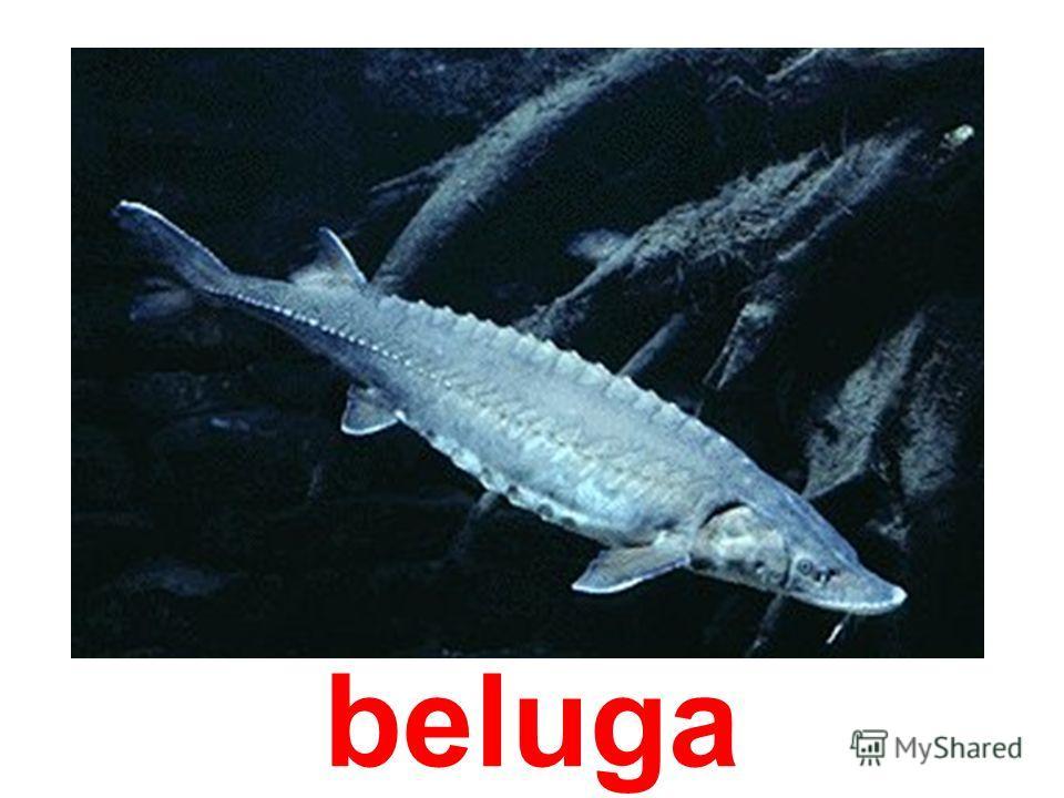 tunny-fish