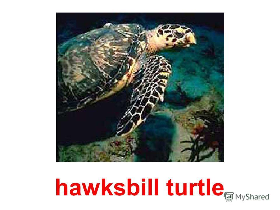 freshwater tortoise