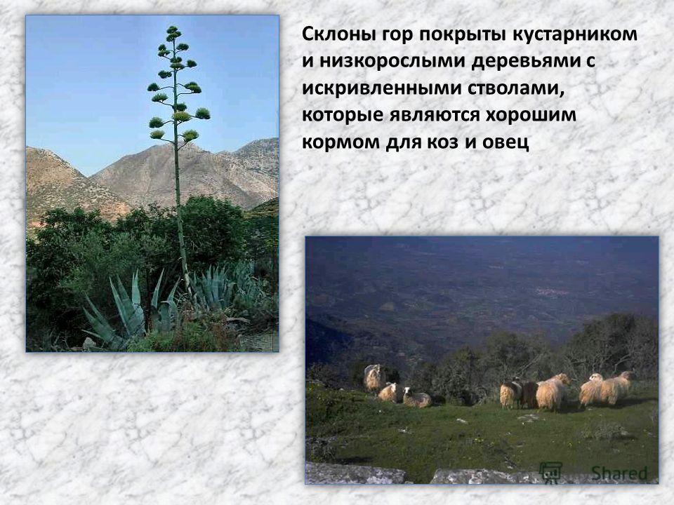 Склоны гор покрыты кустарником и низкорослыми деревьями с искривленными стволами, которые являются хорошим кормом для коз и овец