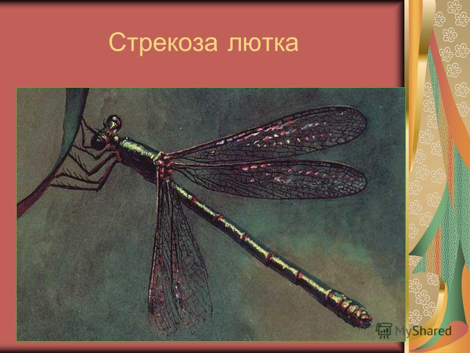 Стрекоза лютка