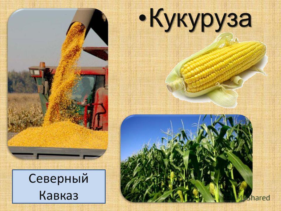 Кукуруза Кукуруза Северный Кавказ