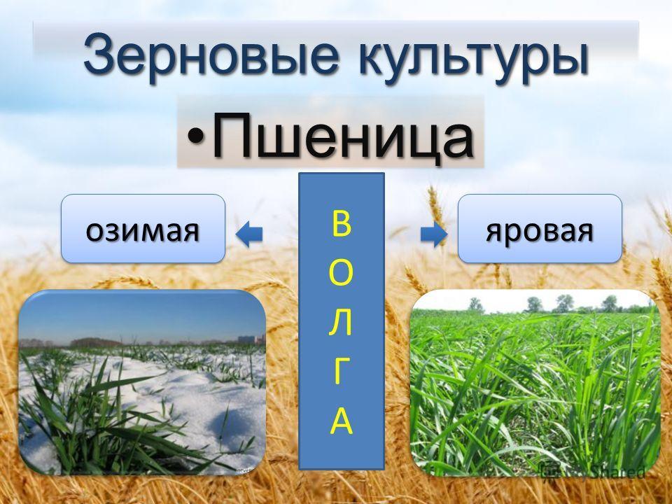 Зерновые культуры Пшеница Пшеница озимаяозимаяяроваяяровая ВОЛГАВОЛГА