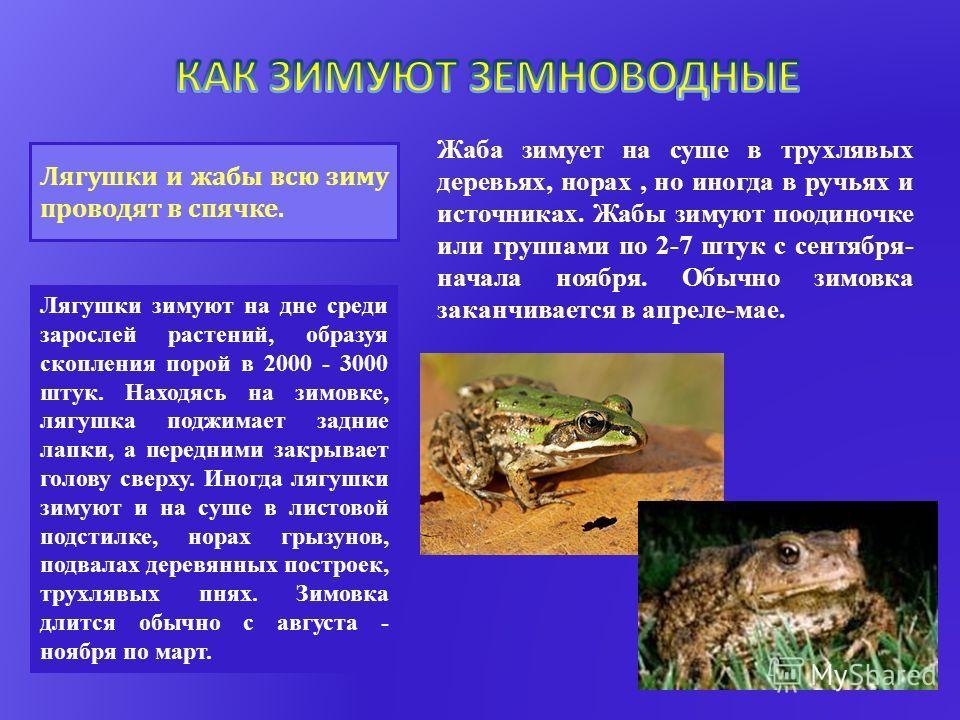 Лягушки и жабы всю зиму проводят в спячке. Лягушки зимуют на дне среди зарослей растений, образуя скопления порой в 2000 - 3000 штук. Находясь на зимовке, лягушка поджимает задние лапки, а передними закрывает голову сверху. Иногда лягушки зимуют и на
