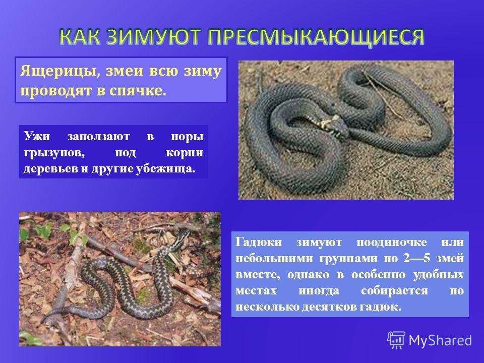 Гадюки зимуют поодиночке или небольшими группами по 25 змей вместе, однако в особенно удобных местах иногда собирается по несколько десятков гадюк. Ужи заползают в норы грызунов, под корни деревьев и другие убежища. Ящерицы, змеи всю зиму проводят в