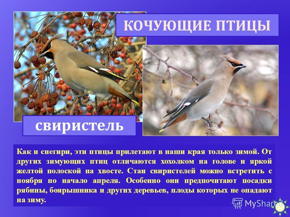 Как и снегири, эти птицы прилетают в наши края только зимой. От других зимующих птиц отличаются хохолком на голове и яркой желтой полоской на хвосте. Стаи свиристелей можно встретить с ноября по начало апреля. Особенно они предпочитают посадки рябины
