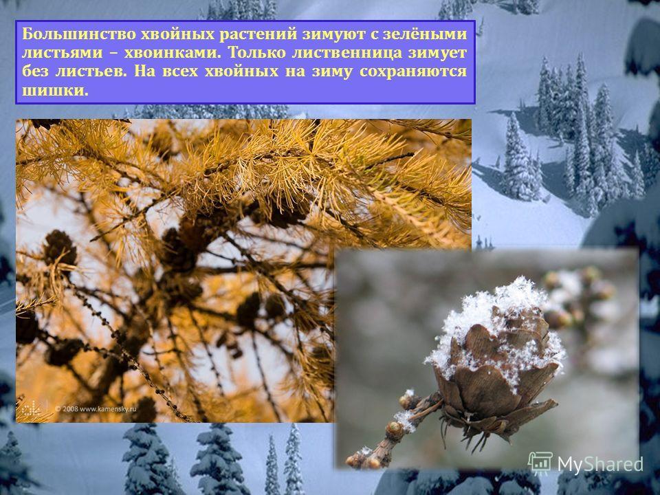 Как зимуют хвойные растения? Большинство хвойных растений зимуют с зелёными листьями – хвоинками. Только лиственница зимует без листьев. На всех хвойных на зиму сохраняются шишки.