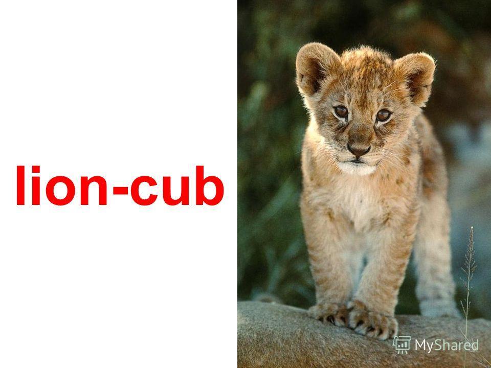 white tiger-cub