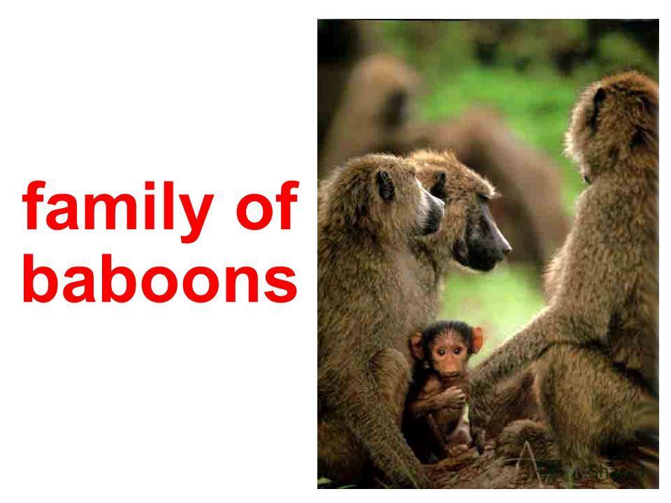 macaque babies