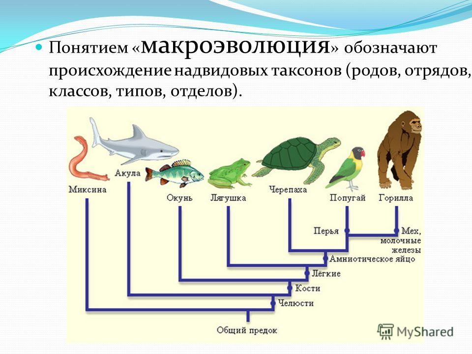 Понятием « макроэволюция » обозначают происхождение надвидовых таксонов (родов, отрядов, классов, типов, отделов).