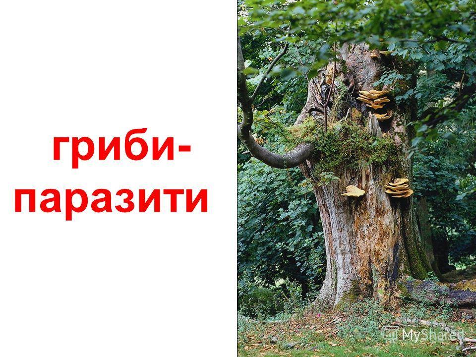 грибы у лісі