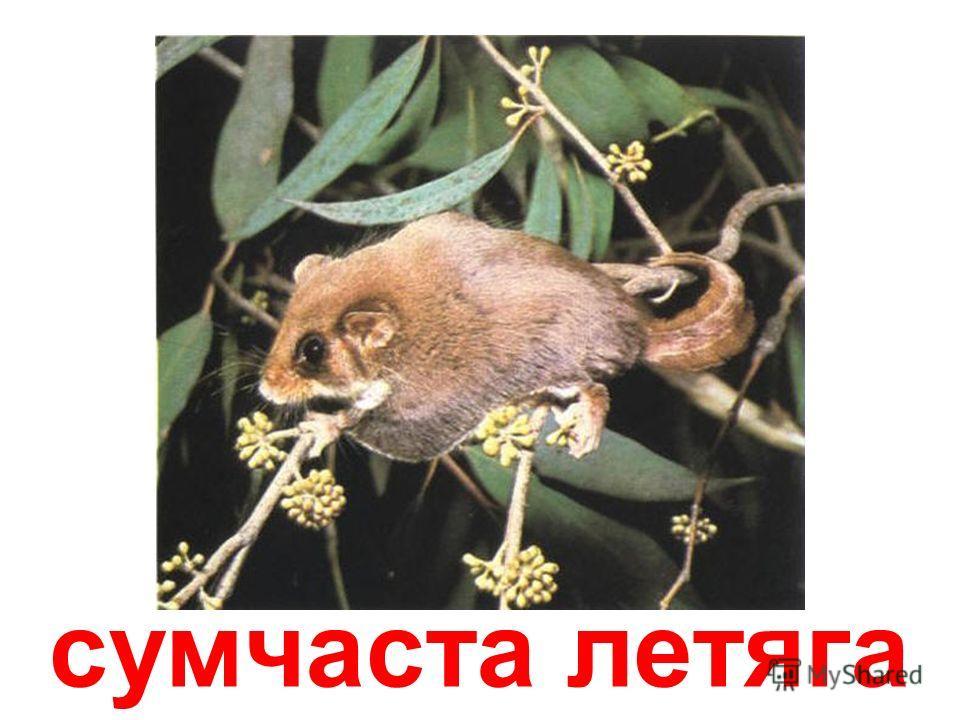 сумчатая миша