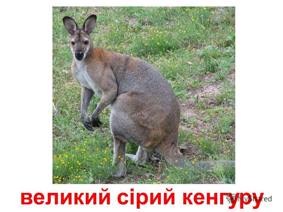 великий радий кенгуру