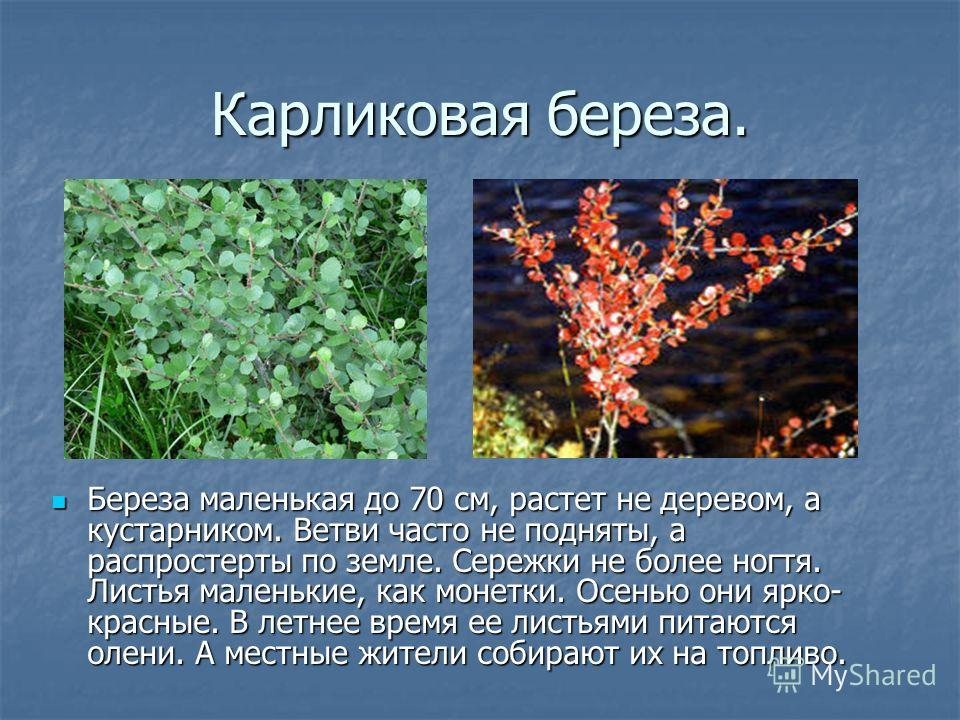 Карликовая береза. Береза маленькая до 70 см, растет не деревом, а кустарником. Ветви часто не подняты, а распростерты по земле. Сережки не более ногтя. Листья маленькие, как монетки. Осенью они ярко- красные. В летнее время ее листьями питаются олен