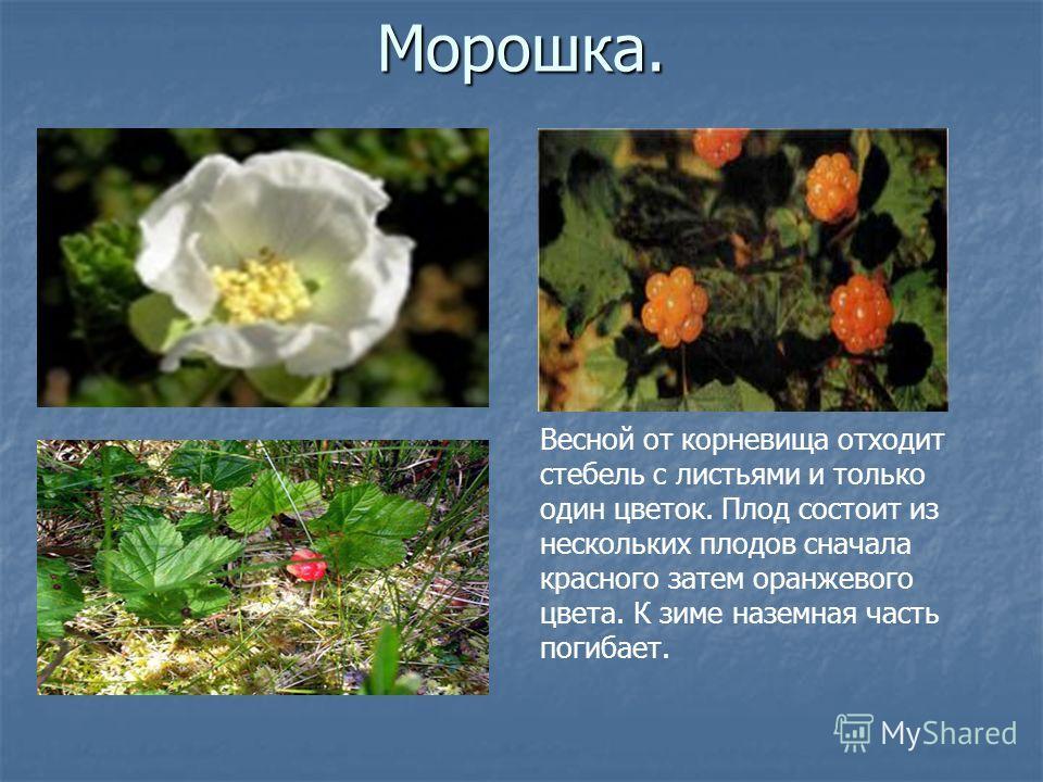 Морошка. Весной от корневища отходит стебель с листьями и только один цветок. Плод состоит из нескольких плодов сначала красного затем оранжевого цвета. К зиме наземная часть погибает.