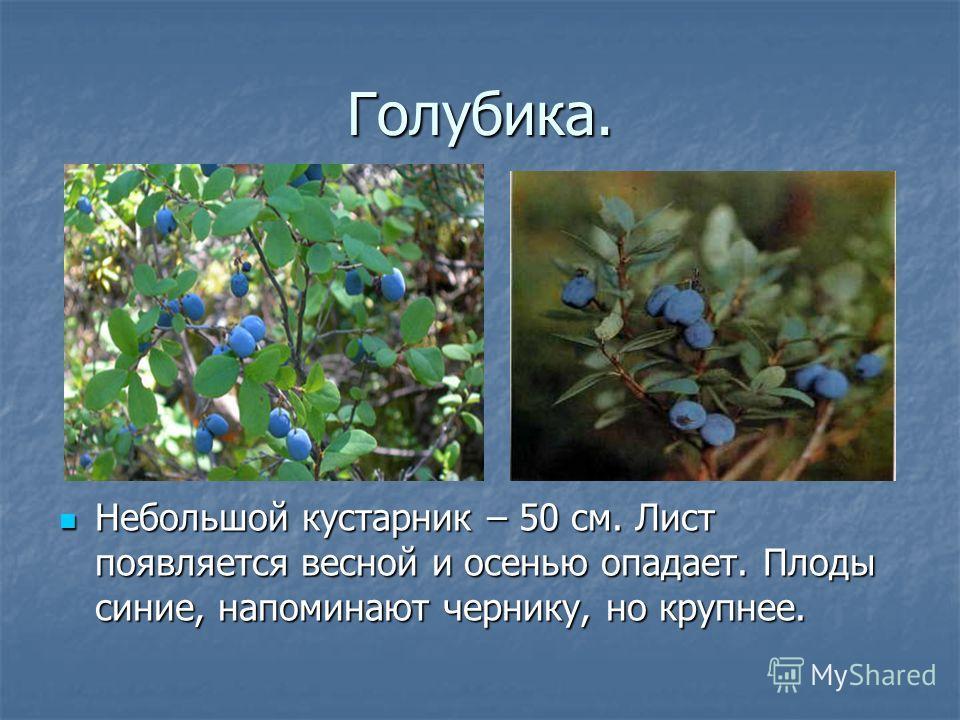 Голубика. Небольшой кустарник – 50 см. Лист появляется весной и осенью опадает. Плоды синие, напоминают чернику, но крупнее.