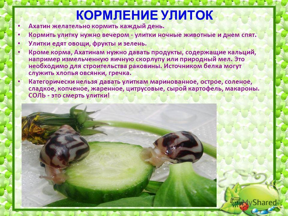 КОРМЛЕНИЕ УЛИТОК Ахатин желательно кормить каждый день. Кормить улитку нужно вечером - улитки ночные животные и днем спят. Улитки едят овощи, фрукты и зелень. Кроме корма, Ахатинам нужно давать продукты, содержащие кальций, например измельченную яичн