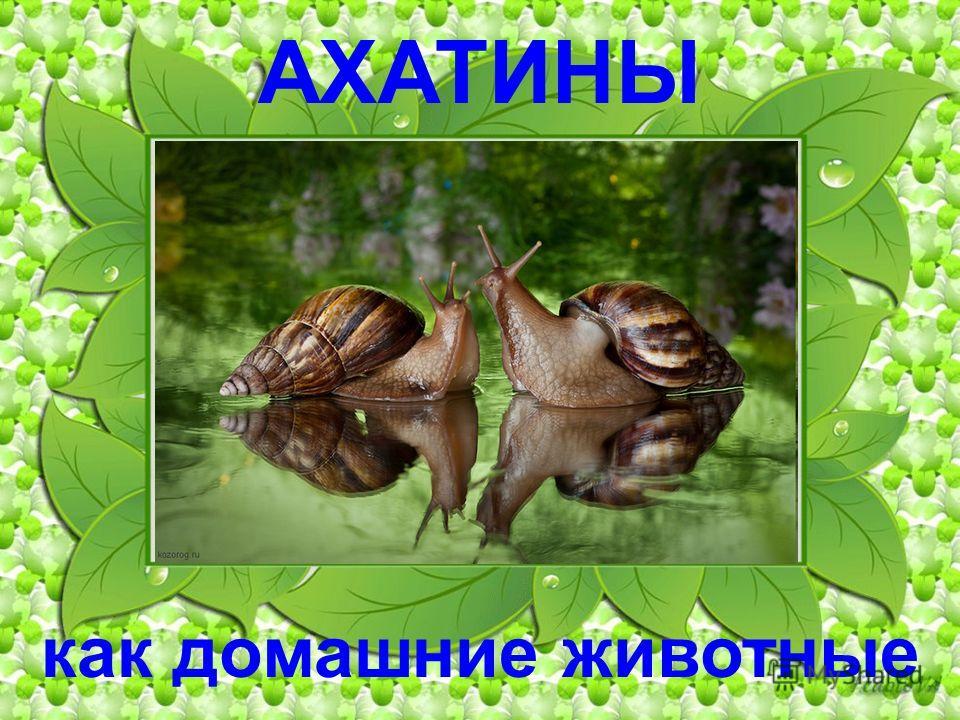 АХАТИНЫ как домашние животные