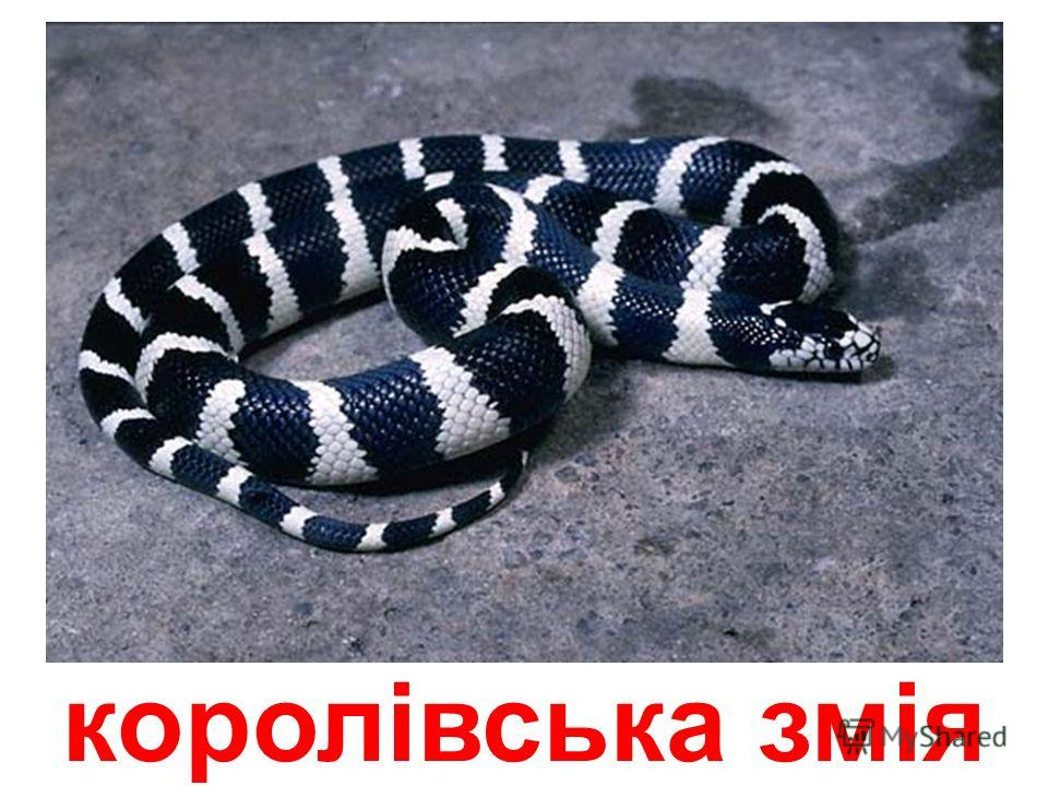 чорно-біла кобра