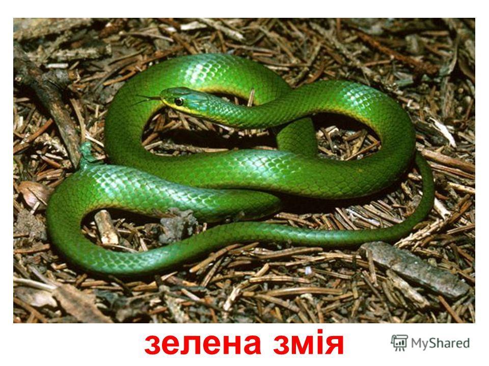 західна вузькорота змія