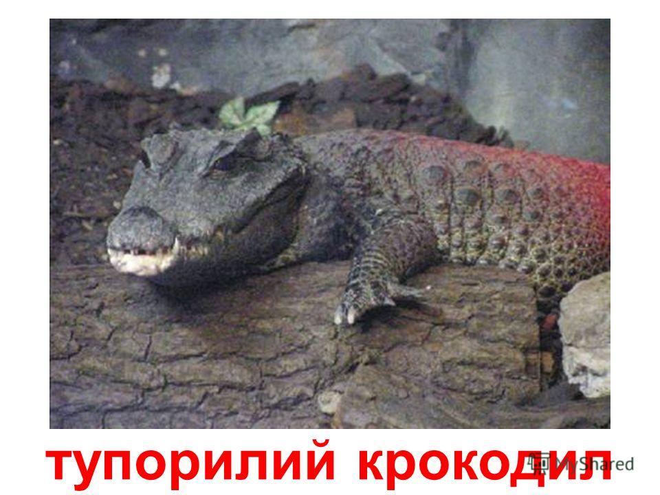 австралійський вузькорилий крокодил