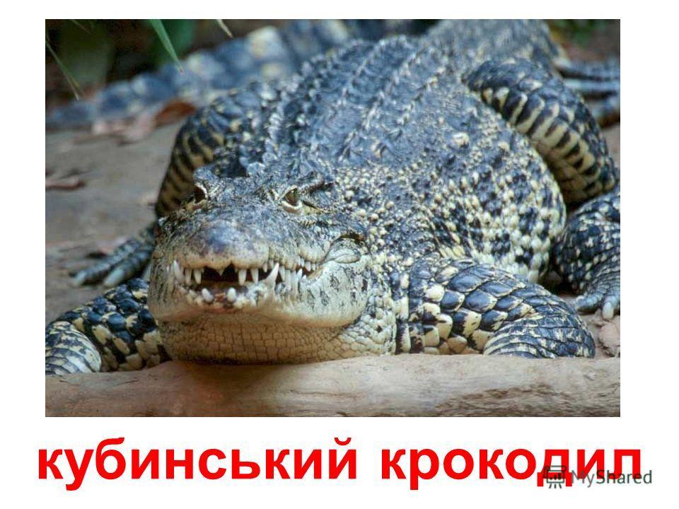 тупорилий крокодил