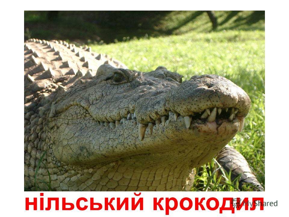 кубинський крокодил