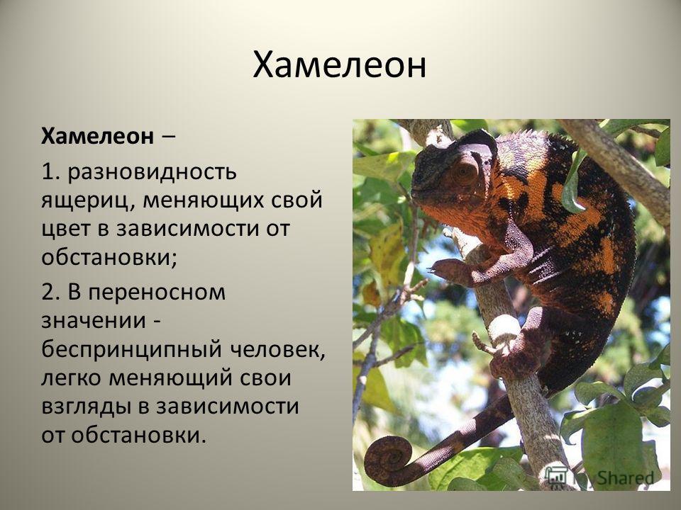 Хамелеон Хамелеон – 1. разновидность ящериц, меняющих свой цвет в зависимости от обстановки; 2. В переносном значении - беспринципный человек, легко меняющий свои взгляды в зависимости от обстановки.