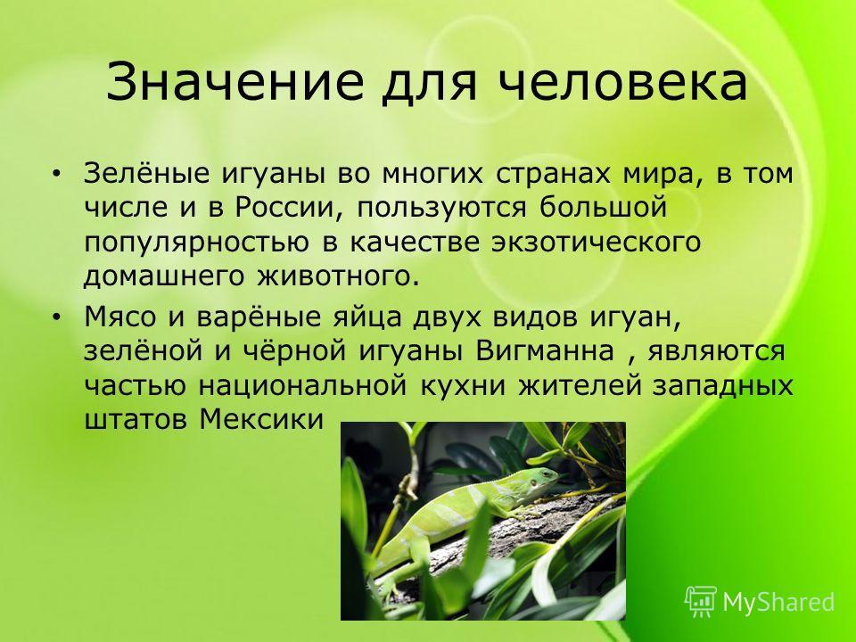 Значение для человека Зелёные игуаны во многих странах мира, в том числе и в России, пользуются большой популярностью в качестве экзотического домашнего животного. Мясо и варёные яйца двух видов игуан, зелёной и чёрной игуаны Вигманна, являются часть