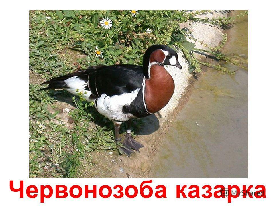 Гусак Росса