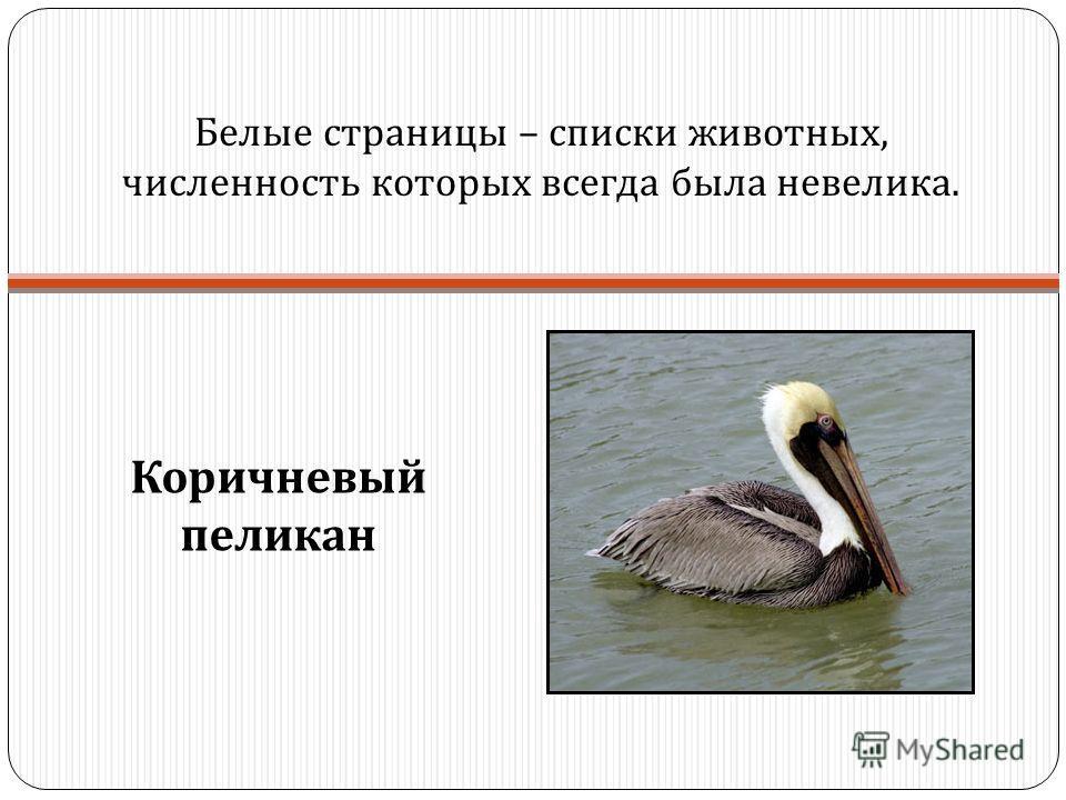 Белые страницы – списки животных, численность которых всегда была невелика. Коричневый пеликан