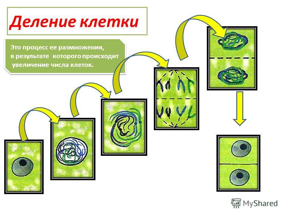 Это процесс ее размножения, в результате которого происходит увеличение числа клеток. Это процесс ее размножения, в результате которого происходит увеличение числа клеток. Деление клетки