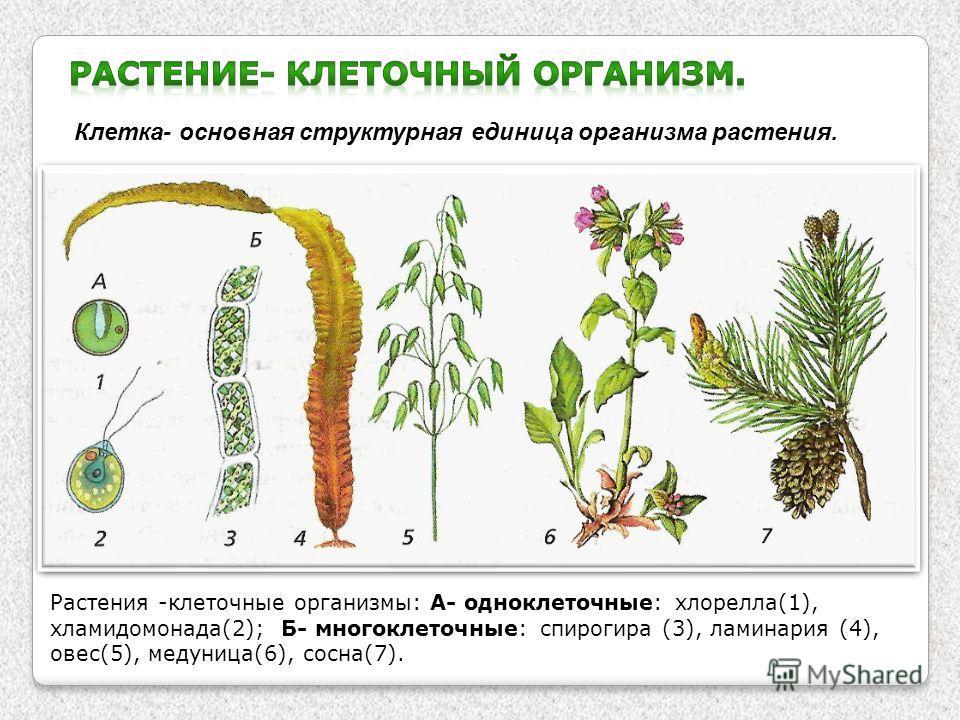 Клетка- основная структурная единица организма растения. Растения -клеточные организмы: А- одноклеточные: хлорелла(1), хламидомонада(2); Б- многоклеточные: спирогира (3), ламинария (4), овес(5), медуница(6), сосна(7).