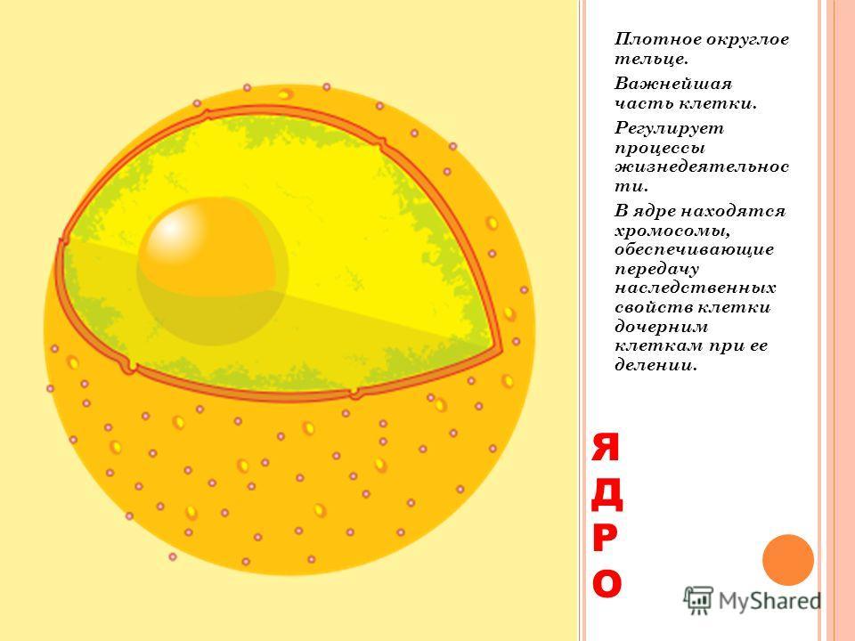ЯДРО ЯДРО Плотное округлое тельце. Важнейшая часть клетки. Регулирует процессы жизнедеятельности. В ядре находятся хромосомы, обеспечивающие передачу наследственных свойств клетки дочерним клеткам при ее делении.