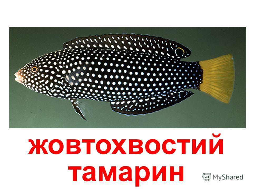 рыба-хірург