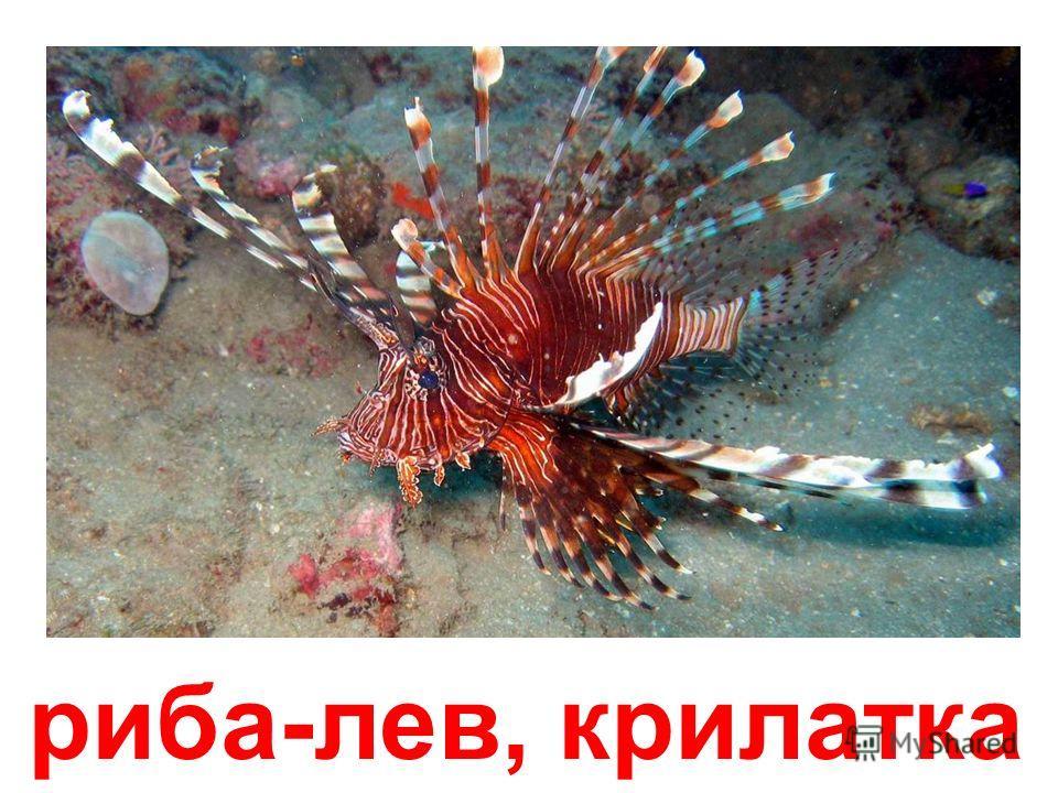 рыба-орхідея
