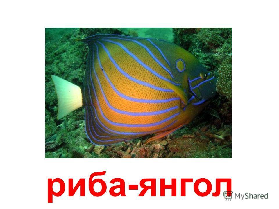 анемонов рыбка-клоун